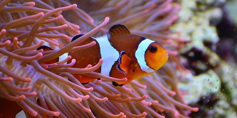 Clownfish in Plants