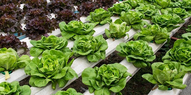 Lettuce_AlkalinityandpHControlBlog