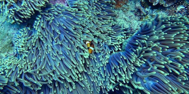 clownfish in purple coral