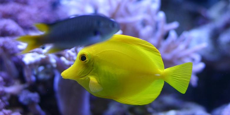 Yellow Fish_Aquarium
